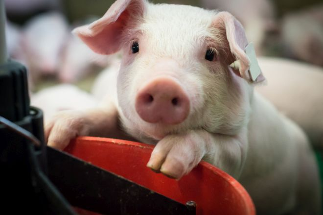 5 Modern Pig Farming Technologies, Explained
